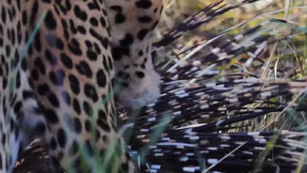 Así logra un leopardo devorar a un puercoespín - Sputnik Mundo