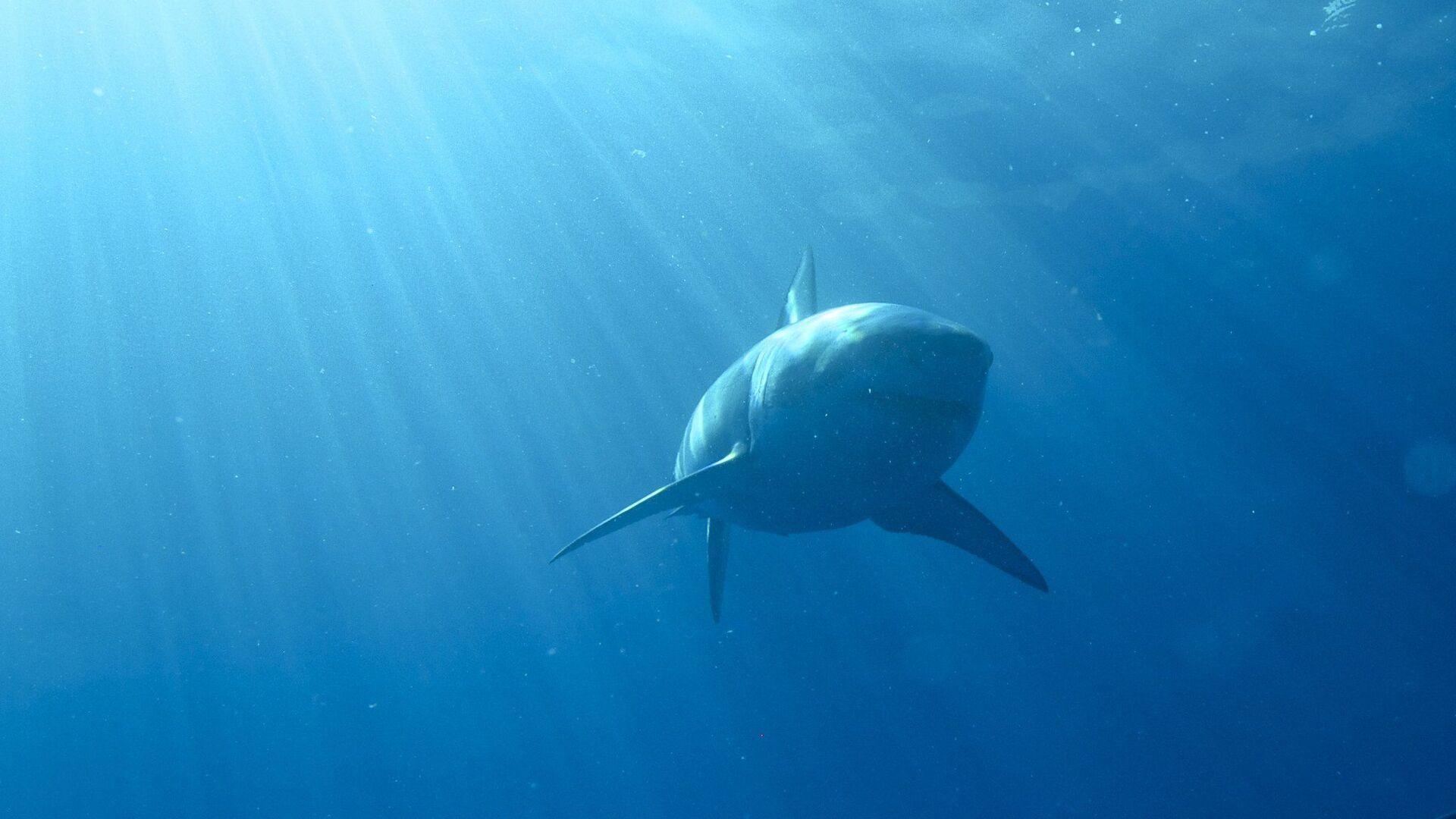 Un tiburón blanco (imagen referencial) - Sputnik Mundo, 1920, 24.06.2021