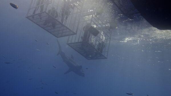 Un tiburón cerca de buceadores (imagen referencial) - Sputnik Mundo