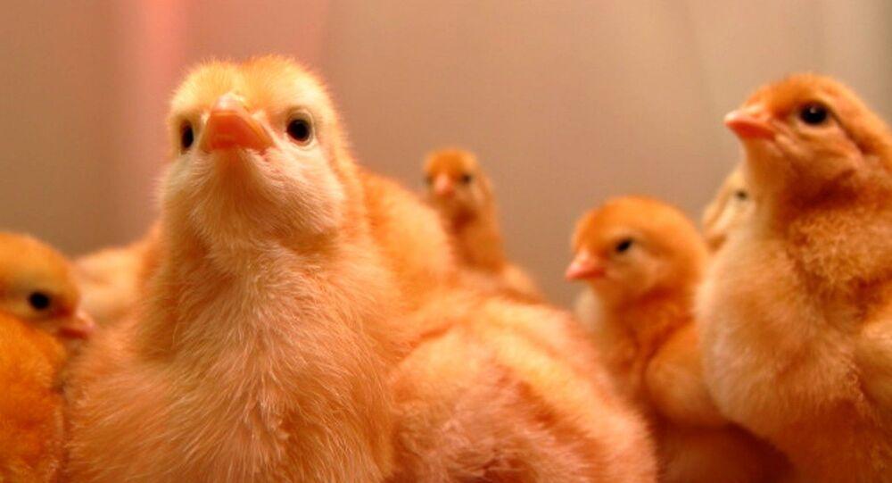Unos polluelos