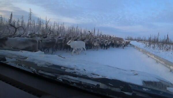 Miles de renos bloquean una carretera de Siberia - Sputnik Mundo