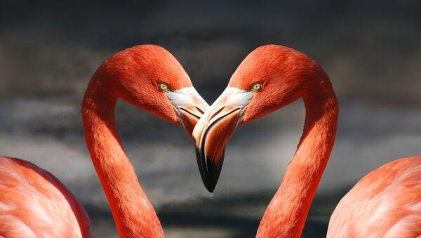 Dos flamingos, referencial - Sputnik Mundo