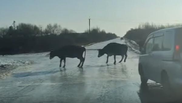 Estas vacas 'patinadoras' te robarán el corazón - Sputnik Mundo