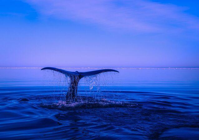 Aleta caudal o cola de ballena - imagen referencial