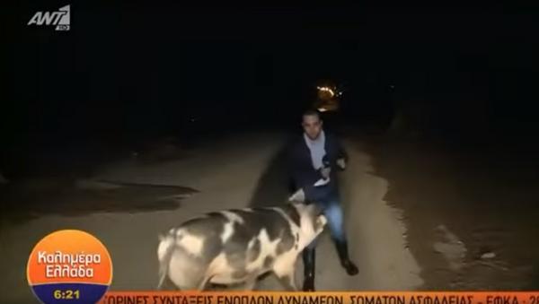 Una feroz puerca ataca a un periodista en vivo... y sus colegas se mofan - Sputnik Mundo