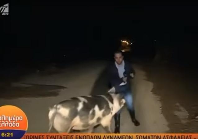Una feroz puerca ataca a un periodista en vivo... y sus colegas se mofan