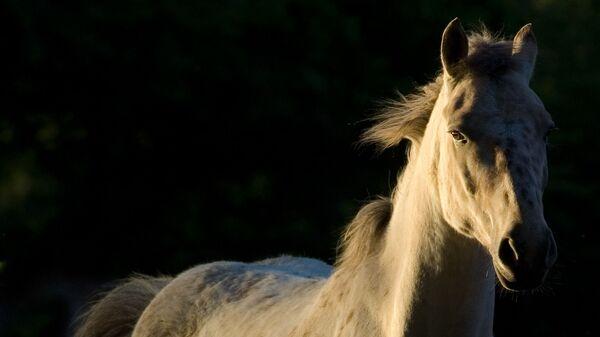 Un caballo blanco (imagen referencial) - Sputnik Mundo