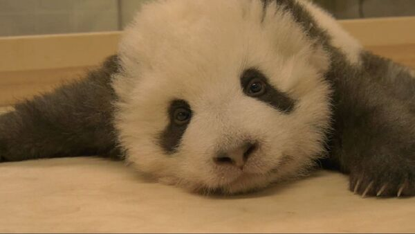 Un oso panda bebé - Sputnik Mundo