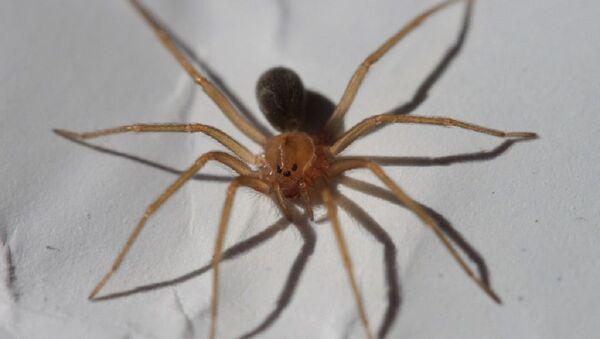 Una araña Loxosceles, foto de archivo - Sputnik Mundo