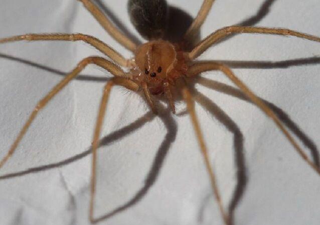 Una araña Loxosceles, foto de archivo
