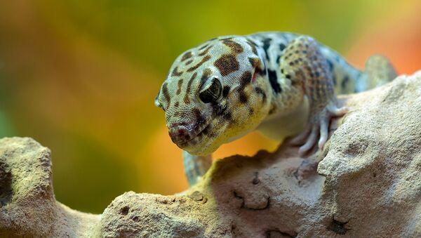 Un gecko, referencial - Sputnik Mundo