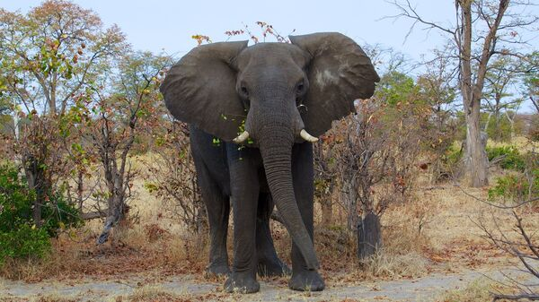 Un elefante (imagen referencial) - Sputnik Mundo