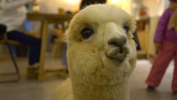 Unas encantadoras alpacas trabajan en un restaurante chino - Sputnik Mundo