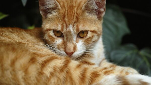 Un gato pelirrojo (archivo) - Sputnik Mundo