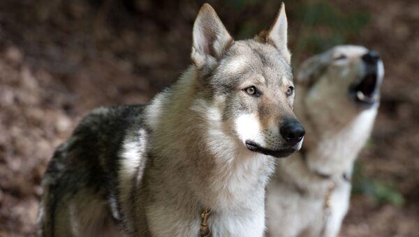 Unos lobos - Sputnik Mundo