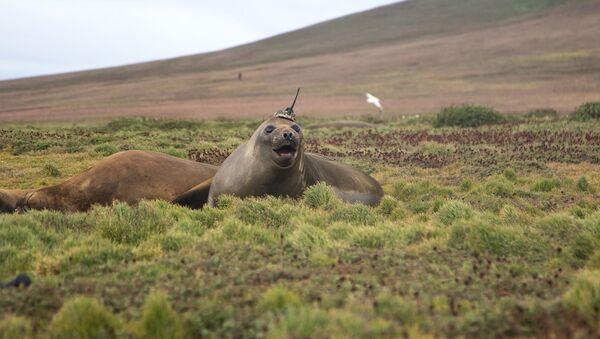 Un elefante marino utilizado por la NASA para investigar el cambio climático - Sputnik Mundo