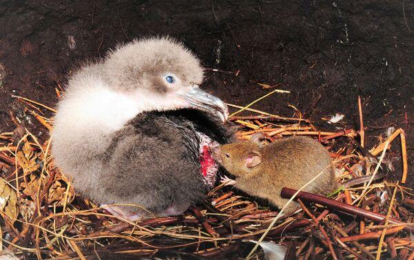 Un ratón muerde un polluelo de albatros - Sputnik Mundo
