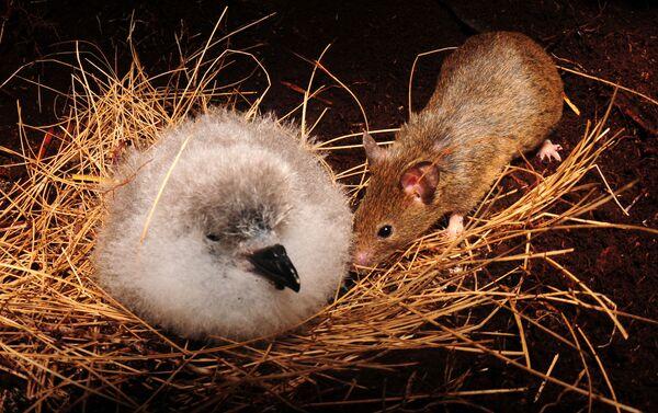 Un polluelo de albatros es amenazado por un ratón en la isla Gough en Reino Unido - Sputnik Mundo