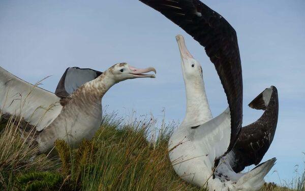 El albatros es el ave más grande del mundo - Sputnik Mundo