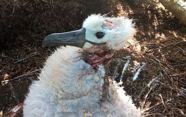 Albatros herido en la isla Gough - Sputnik Mundo