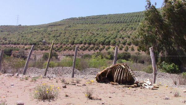 Localidad de Cabildo, Chile - contraste entre plantación de paltos y ganado muerto por sequía - Sputnik Mundo