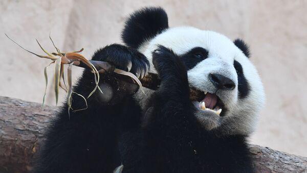 Un oso panda del Zoo de Moscú - Sputnik Mundo