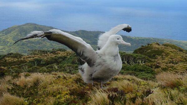 Albatros desplegando sus alas - Sputnik Mundo