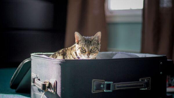 Un gato en una valija de viaje - Sputnik Mundo