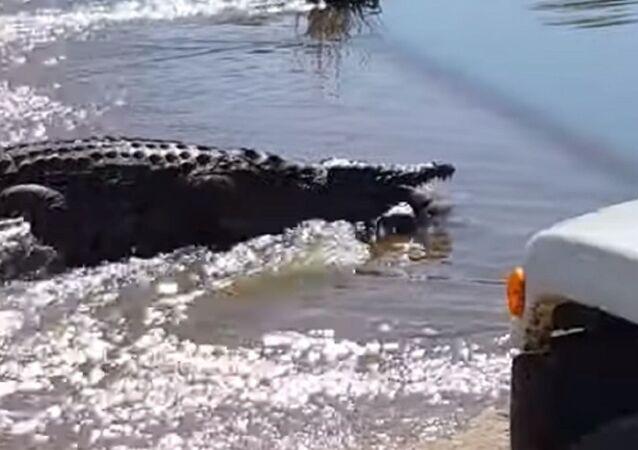 Cazador ideal: el tremendo ataque de un cocodrilo a su presa