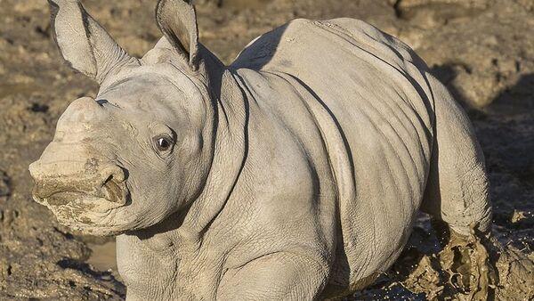 Future, el más nuevo rinoceronte del zoológico de San Diego - Sputnik Mundo