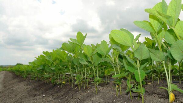 Plantación de soja - imagen referencial - Sputnik Mundo