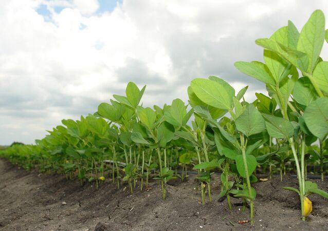 Plantación de soja - imagen referencial