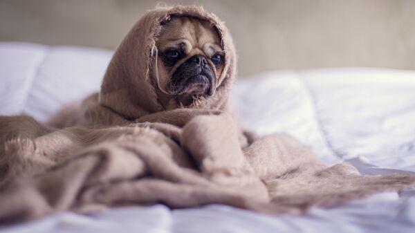 Un perrito con falta de sueño (imagen referencial) - Sputnik Mundo