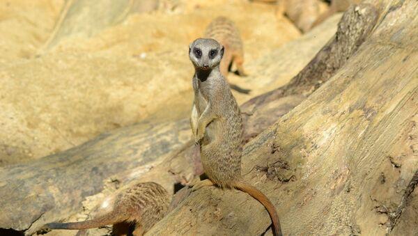 Una suricata. Imagen referencial - Sputnik Mundo