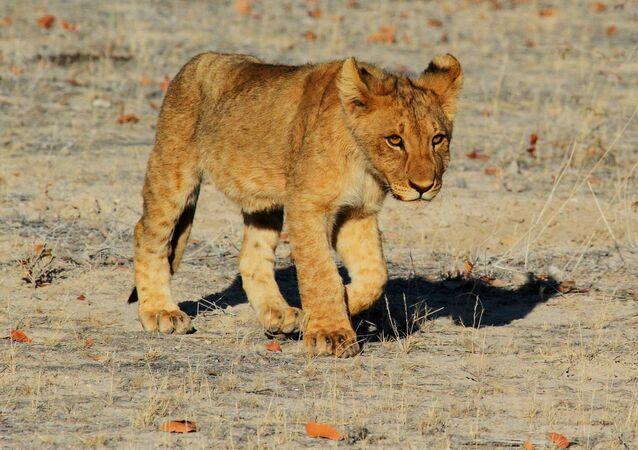 Un cachorro de león (archivo)