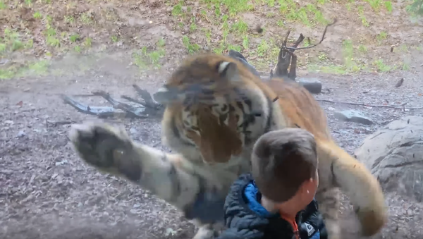 Un niño se lleva un susto de muerte cuando un tigre intenta cazarlo - Sputnik Mundo