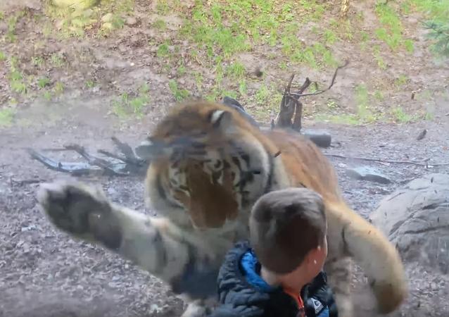 Un niño se lleva un susto de muerte cuando un tigre intenta cazarlo