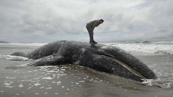Ballena gris muerta en la bahía de San Francisco - Sputnik Mundo