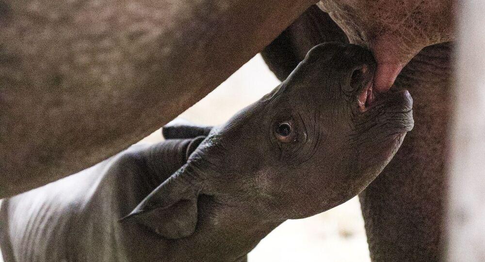 Rinoceronte bebé nacido en Potter Park Zoo