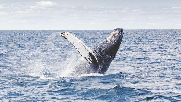 Una ballena jorobada en el mar - Sputnik Mundo