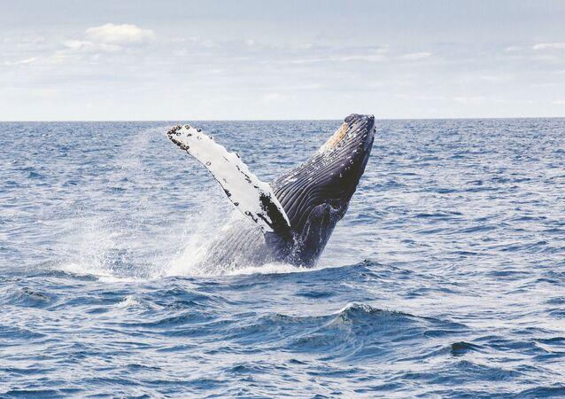 Una ballena jorobada en el mar