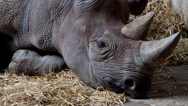 Rinoceronte negro (Archivo) - Sputnik Mundo