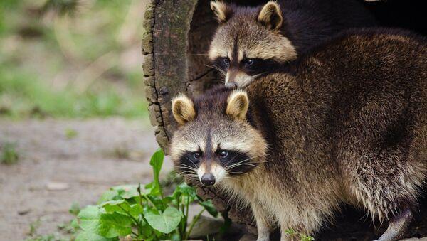 Un par de mapaches - Sputnik Mundo