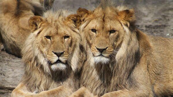 Dos leones - Sputnik Mundo