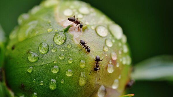 Hormigas con agua - Sputnik Mundo