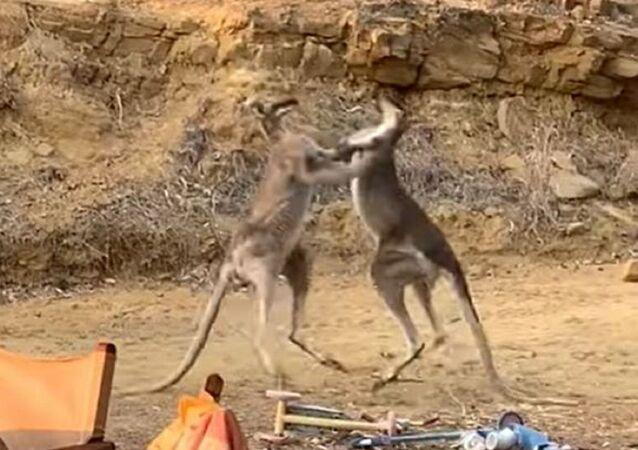 Dos canguros se agarran a golpes