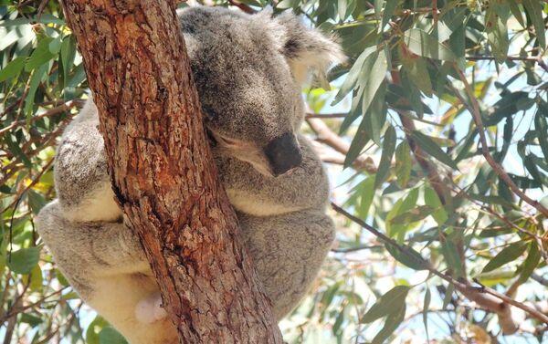 Koala, uno de los marsupiales icónicos de Australia - Sputnik Mundo