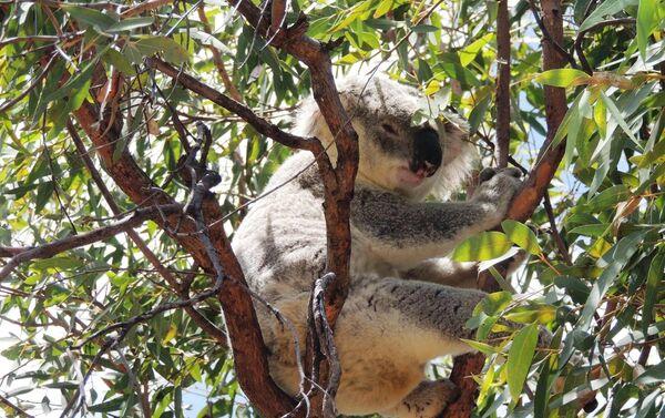 La palabra 'koala' significa animal que no bebe - Sputnik Mundo