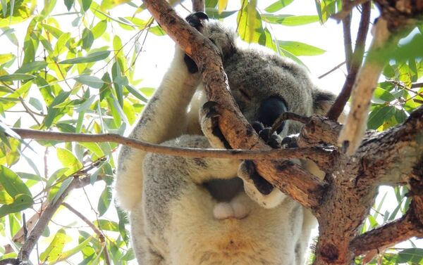 La cuarta parte de los koalas australianos murieron en los incendios - Sputnik Mundo