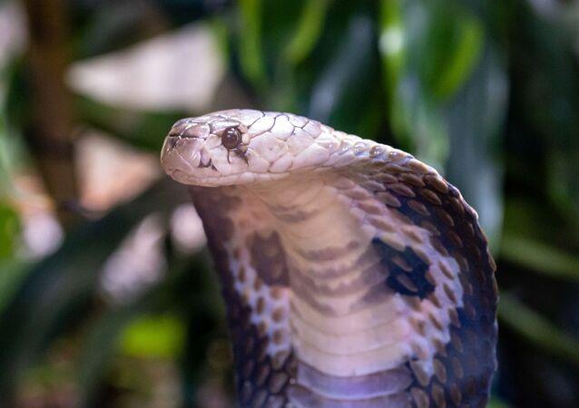 Una cobra (imagen referencial)